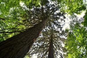 EFF-1-sequoiasgeants-wixhou